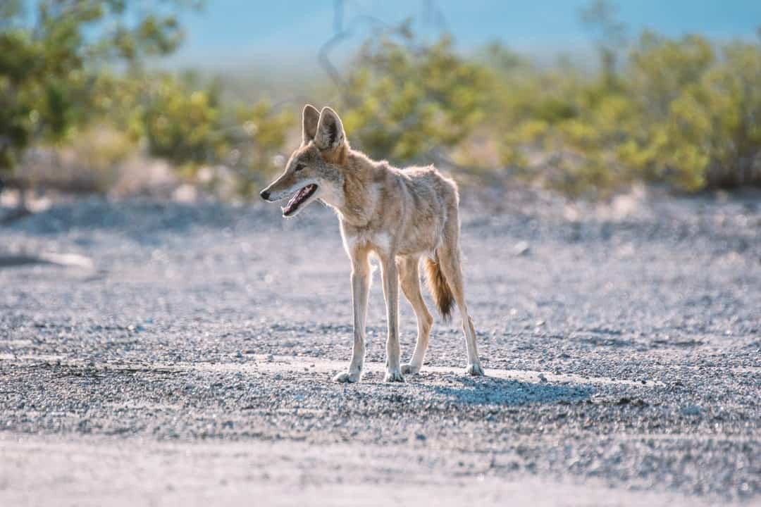 A wolf that is standing in the dirt